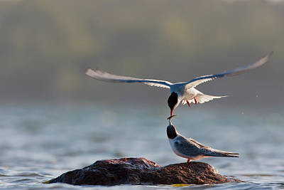 Tern Photograph - Parenthood by Magnus Renmyr