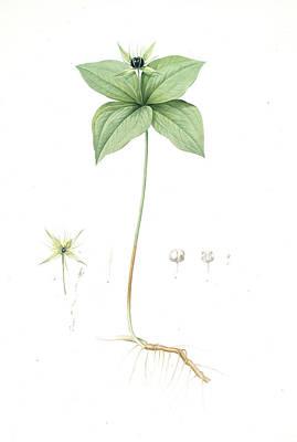 Berry Drawing - Paris Quadrifolia, Parisette à Quartre Feuilles Herb by Artokoloro