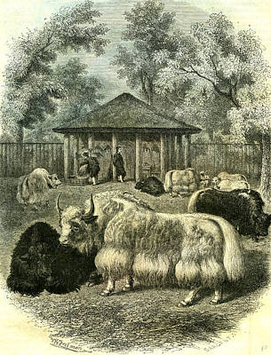 Yak Drawing - Paris Yaks 1854 by English School