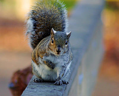 Print featuring the photograph Park Squirrel I by Daniel Woodrum