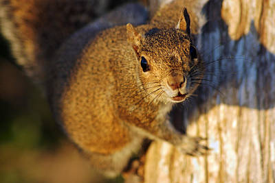 Print featuring the photograph Park Squirrel II by Daniel Woodrum