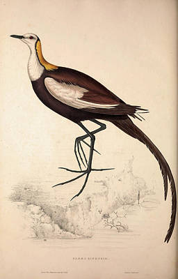 Asian Artist Drawing - Parra Sinensis, Pheasant-tailed Jacana.a Jacana by Quint Lox