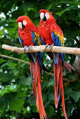 Photograph - Parrot Buddies by Jane Girardot