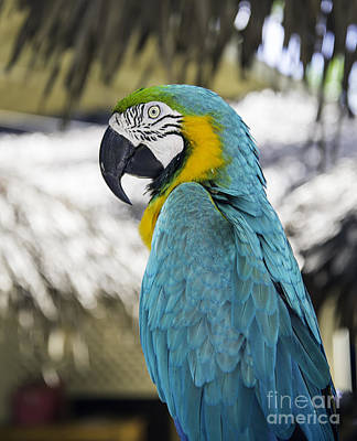 Photograph - Parrot  by Glenn Gordon