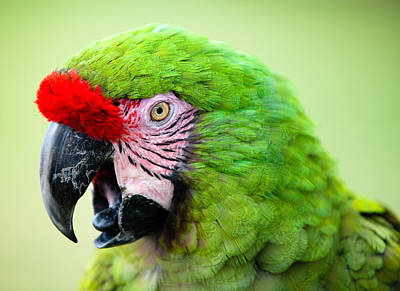 Photograph - Parrot by Sebastian Musial