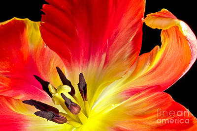Parrot Tulip On Fire Art Print
