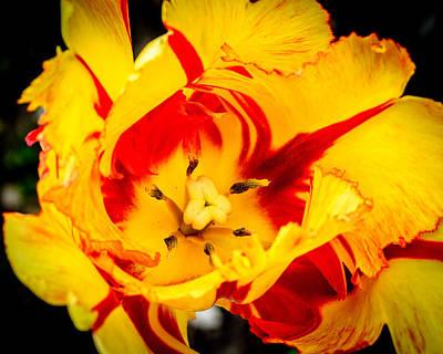 Photograph - Parrot Tulip by Randy Scherkenbach