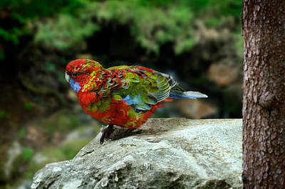 Photograph - Parrot by Zoran Buletic