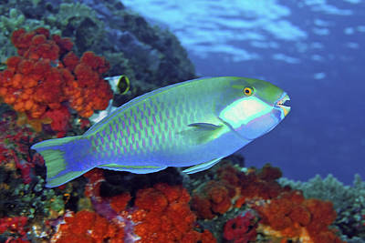 Angelfish Wall Art - Photograph - Parrotfish, Raja Ampat Islands, Irian by Jaynes Gallery