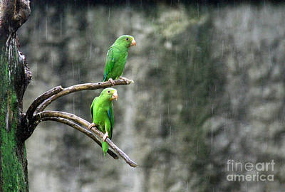 Rainy Day Photograph - Parrots In The Rain by Bob Hislop