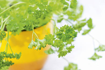 Photograph - Parsley by Design Windmill