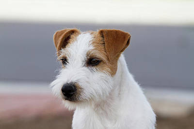 Parson Russell Terrier Art Print by Piperanne Worcester