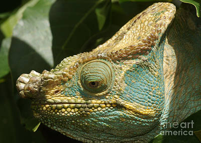 Photograph - Parsons Chameleon From Madagascar 12 by Rudi Prott