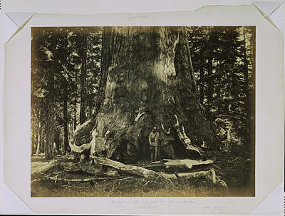 Yosemite National Park Drawing - Part Of The Trunk Of The Grizzly Giant With Clark - by Litz Collection