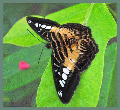 Photograph - Parthenos Sylvia by Diane Wood