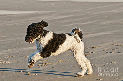 Parti Photograph - Parti Poodle Running On Beach by William H. Mullins