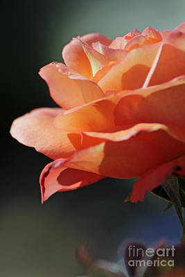 Photograph - Partial Rose by Chris Anderson