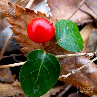 Photograph - Partridge Berry by Jean Wright