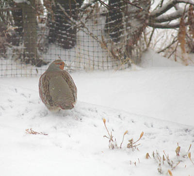 Photograph - Partridge Walking In Snow by Donna L Munro