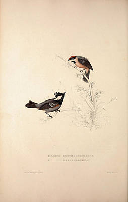 Asian Artist Drawing - Parus Erythrocephalus, Parus Melanolophus. Birds by Quint Lox