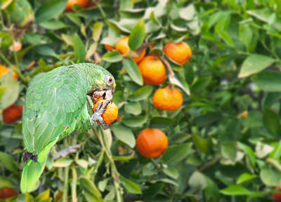 Photograph - Pasadena Parrot by Darren Bradley