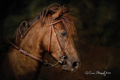 Photograph - Paso Fino Portrait by Ryan Courson