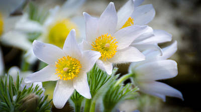 Photograph - Pasque Flower by Nick Field