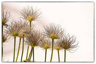 Animal Watercolors Juan Bosco - Pasque Flower Seed Pods by Janis Knight