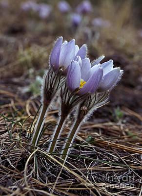 Photograph - Pasque Flower by Steven Ralser