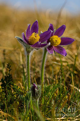 Pasque Flowers Print by Steen Drozd Lund