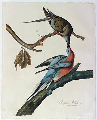 The Birds Photograph - Passenger Pigeon by British Library