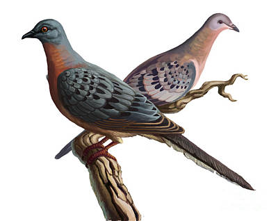 Passenger Pigeon  Art Print by Spencer Sutton