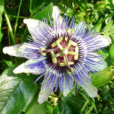 Photograph - Passiflora Against Green Foliage In A Garden  by Taiche Acrylic Art