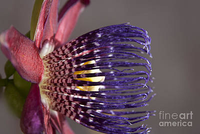 Passiflora Photograph - Passiflora Alata - Passion Flower - Ruby Star - Ouvaca by Sharon Mau