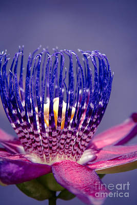 Passiflora Photograph - Passiflora Alata - Ruby Star - Ouvaca - Fragrant Granadilla -  Winged-stem Passion Flower by Sharon Mau