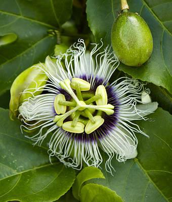 Passiflora Edulis Photograph - Passiflora Edulis With Fruit by Venetia Featherstone-Witty