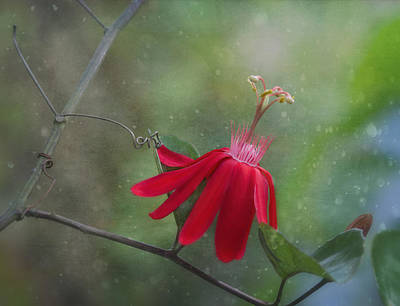 Passiflora Flower Art Print by Kim Hojnacki