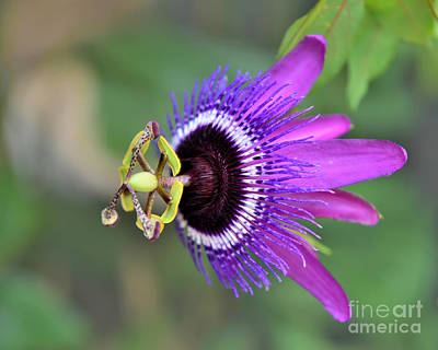 Photograph - Passiflora Lavender Lady by Olga Hamilton