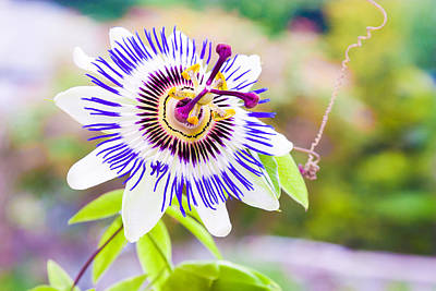 Photograph - Passiflora Or Passion Flower by Semmick Photo
