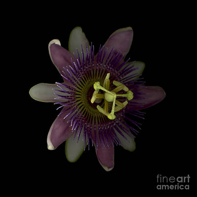 Passiflora Digital Art - Passion Angle Front by Heather Kirk