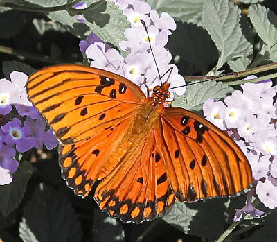 Flower Photograph - Passion Butterfly by Cathy Lindsey