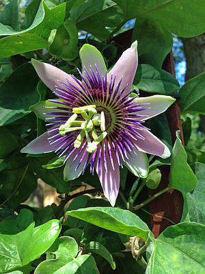 Purple Photograph - Passion Flower 4 by Aimee L Maher Photography and Art Visit ALMGallerydotcom