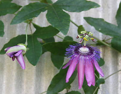 Stamen Photograph - Passion Flower And Bud by Cathy Lindsey