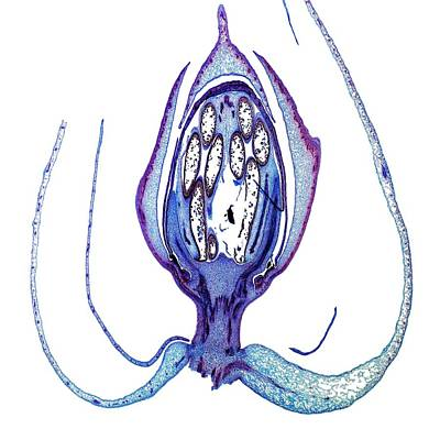 Passion Flower Bud Art Print by Dr Keith Wheeler