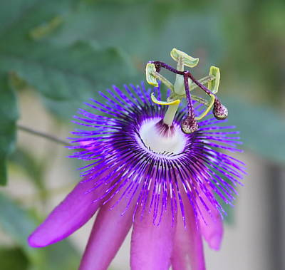 Stamen Photograph - Passion Flower by Cathy Lindsey