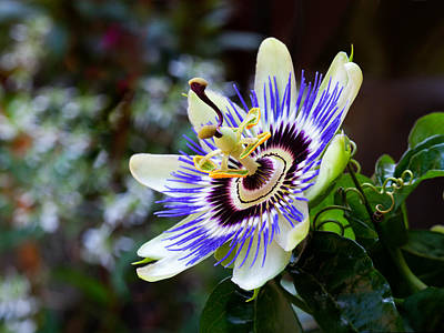 Photograph - Passion Flower by Charles Lupica
