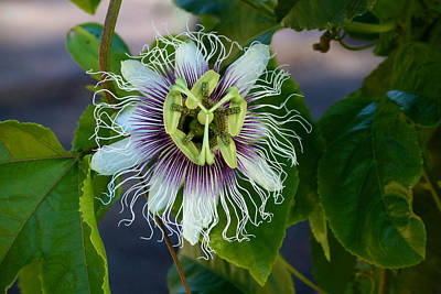 Art Print featuring the photograph Passion Flower by Cindy McDaniel