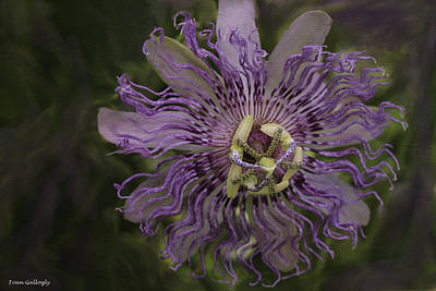 Photograph - Passion Flower by Fran Gallogly