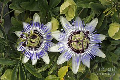 Passiflora Photograph - Passion Flower Hybrid Cultivar by Tony Craddock