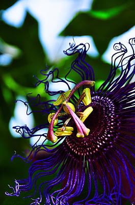 Passion Flower II Art Print by Ursa Davis